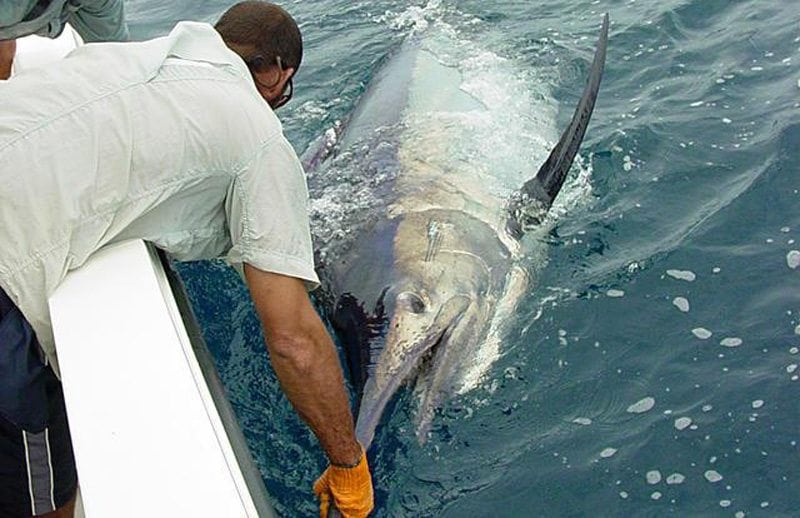 los suenos fishing marlin