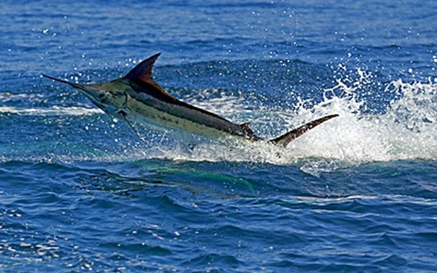 Marlin Sport fishing costa rica