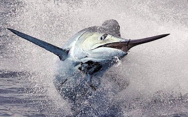 Swordfish Sport Fishing