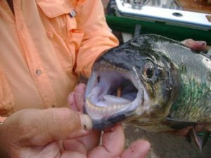 Machacca Mouth Fish