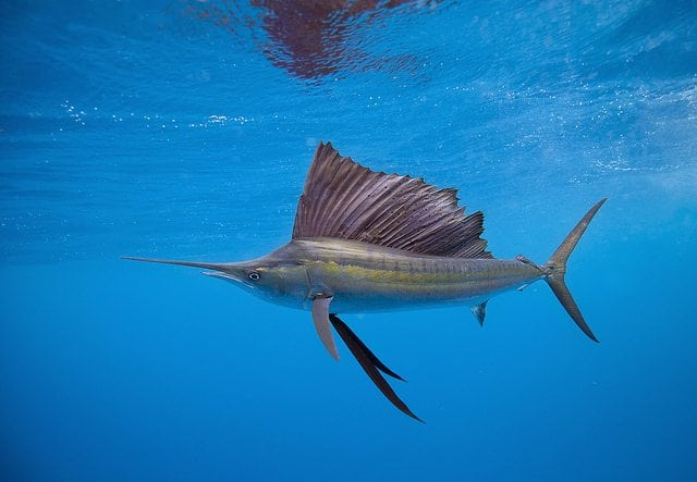 Sailfish in Costa Rica