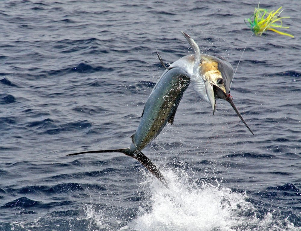 Sport Fishing Sailfish