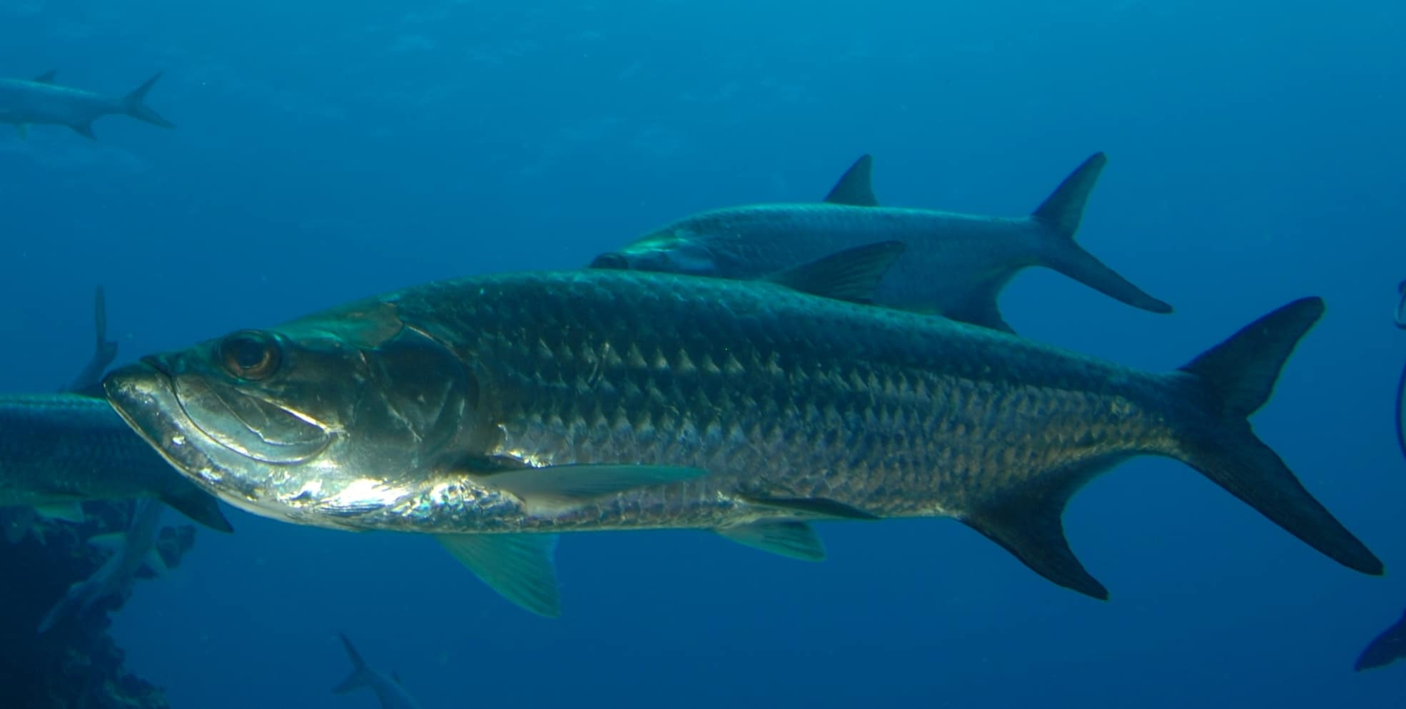 Tarpon In Costa Rica