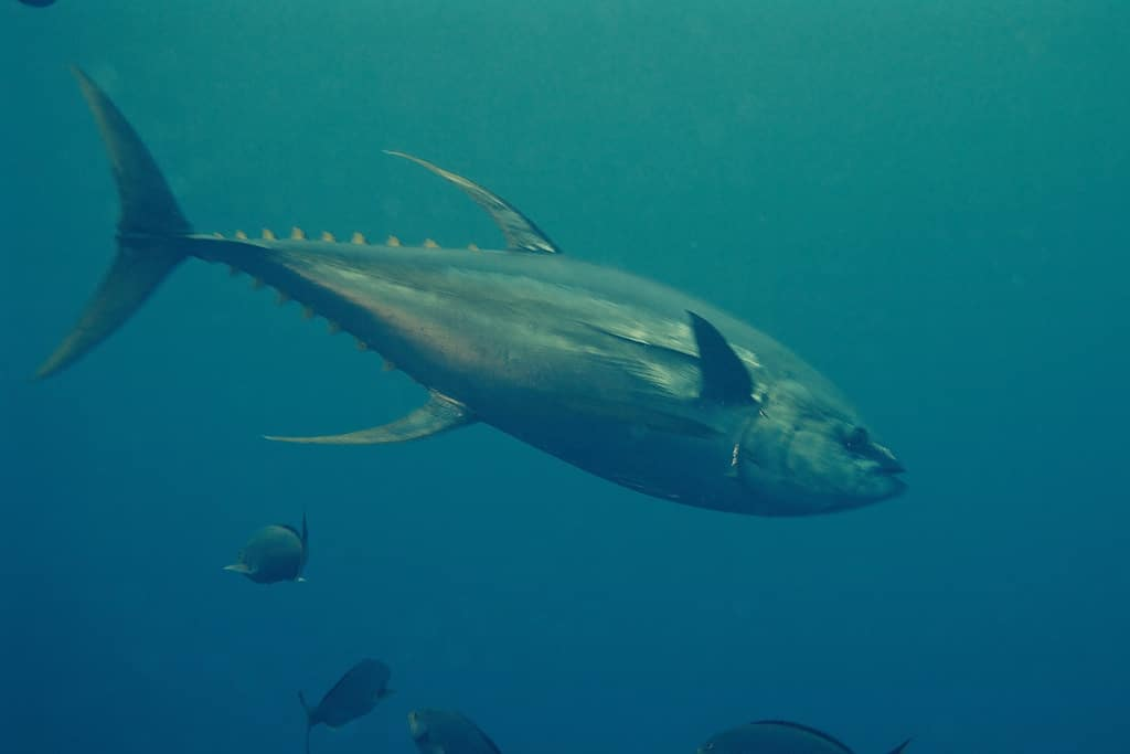 Yellowfin tuna in costa rica